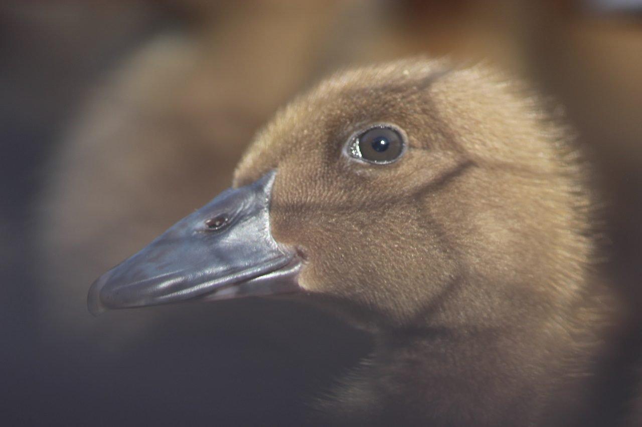 Duckling, City Farmers Nursery, San Diego