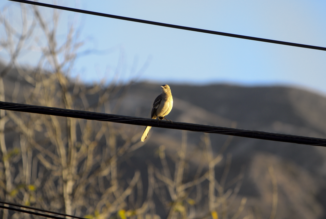 Mockingbird, mountains, La Cresenta, California