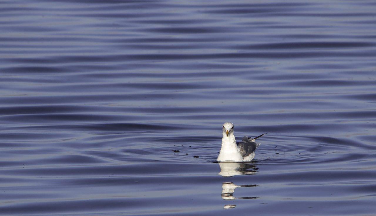 Seagull, Salton Sea, California