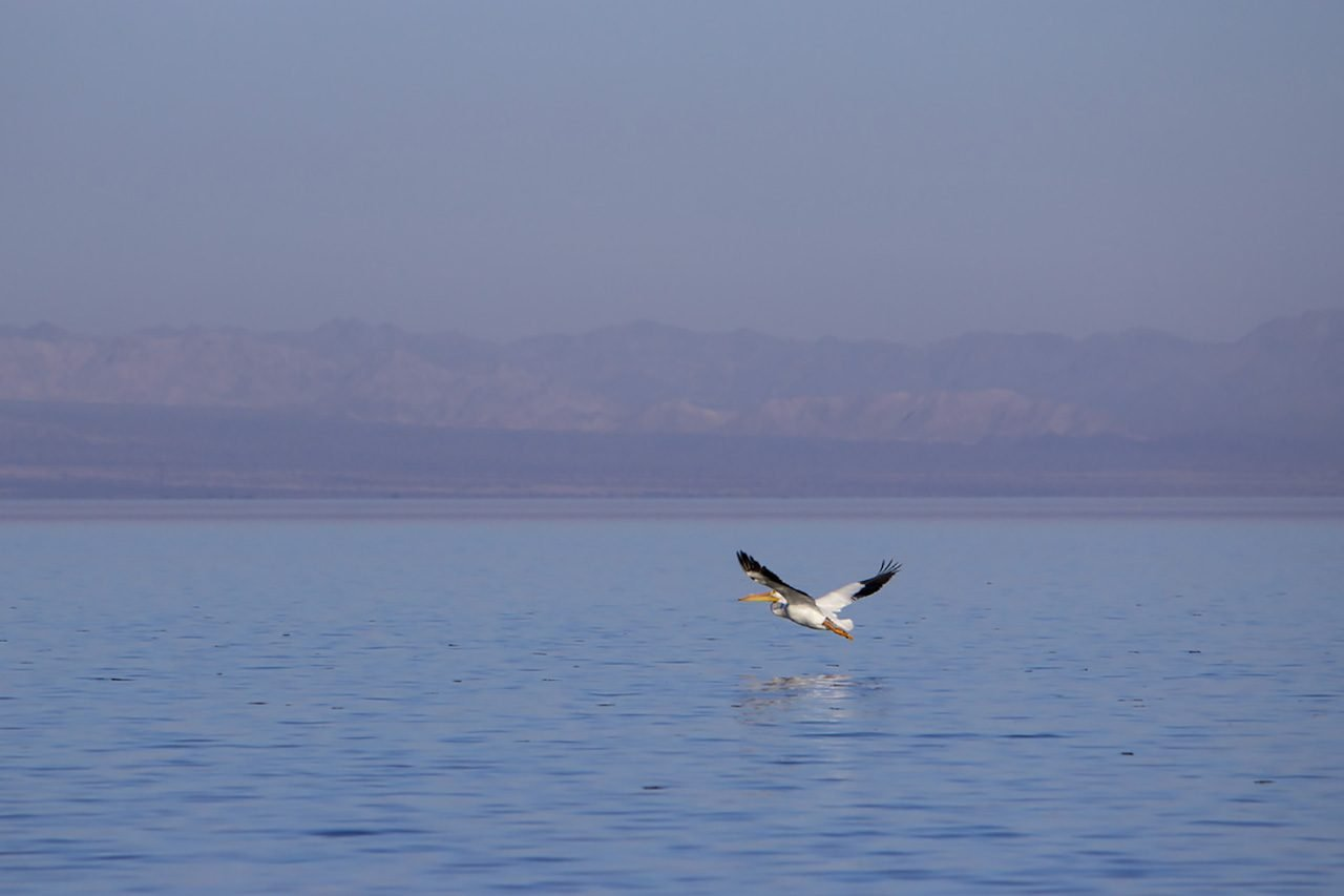 Waterbird, Salton Sea, California