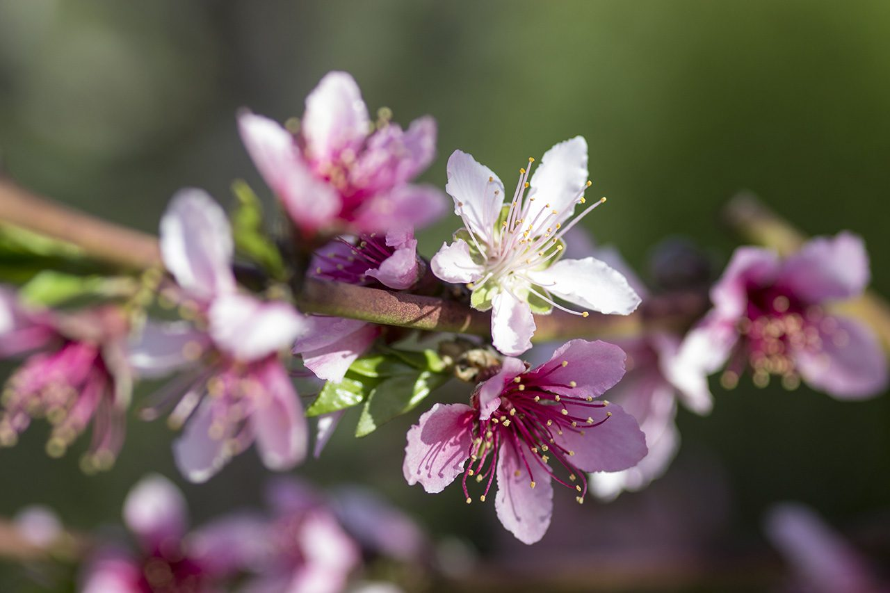 Peach blossoms, City Farmers Nursery, San Diego, California
