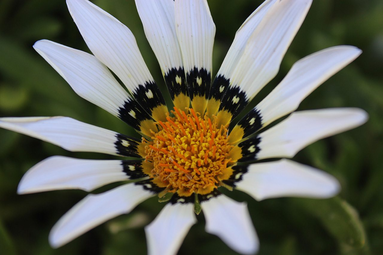 African daisy, City Farmers Nursery, San Diego, California