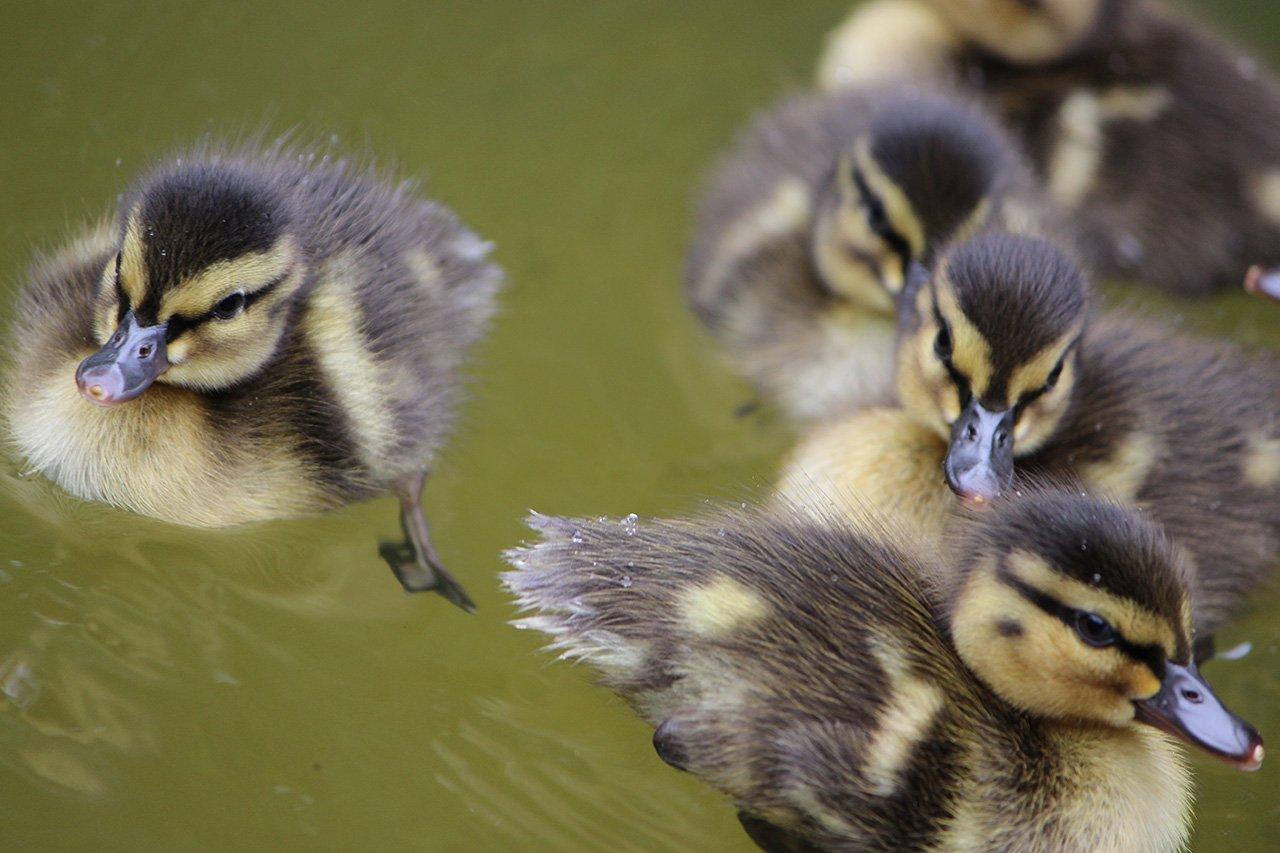ducklings afloat