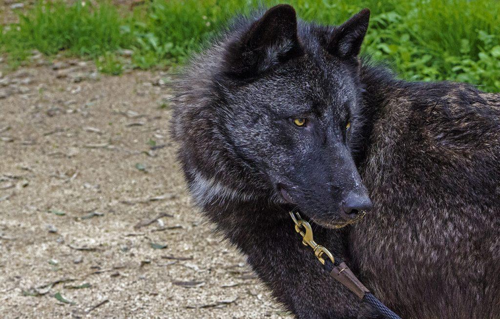 lycan wolf dog